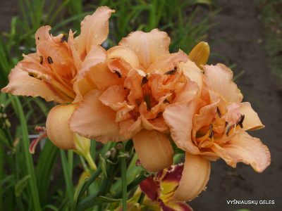 daylily 'Double Whirlwind' (3)