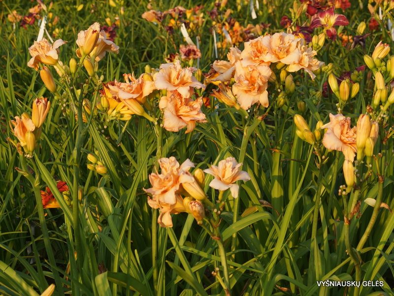 daylily 'Double Whirlwind' (4)
