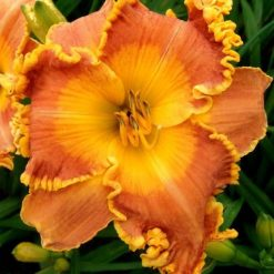 daylily 'Dragon Tattoo'