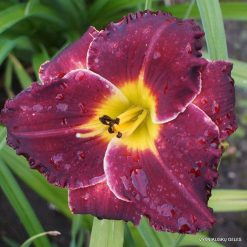 daylily 'Evening Sparkle'
