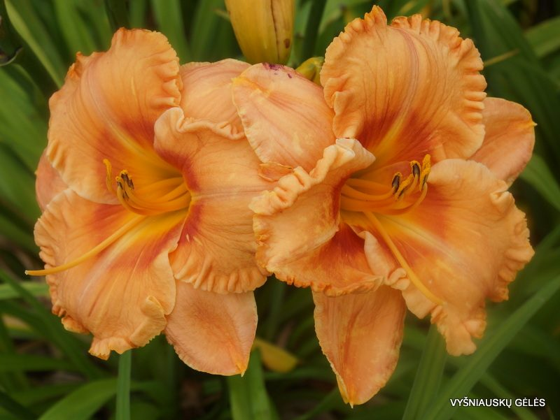 daylily 'Fay's Fancy Bloomers' (2)