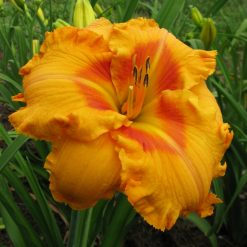 daylily 'Fay's Fancy Bloomers'
