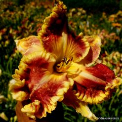 daylily 'Featuring the Gold'