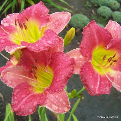 daylily 'Final Touch'