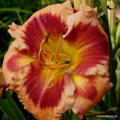daylily 'Flamboyant Eyes'