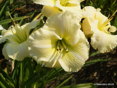 daylily 'Flutter of Angels' (2)