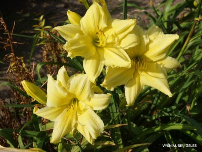 daylily 'Fours are Wild' (2)