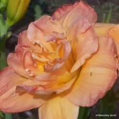 daylily 'Frances Joiner'