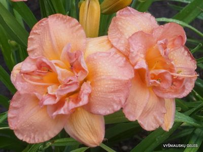 daylily 'Frances Joiner' (3)