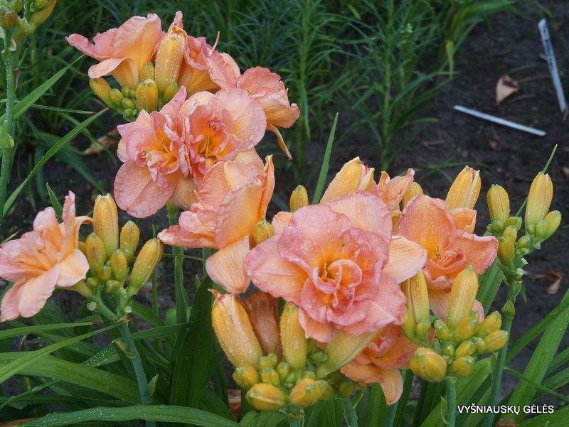 daylily 'Frances Joiner' (6)