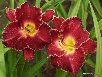 daylily 'Francis of Assisi' (2)