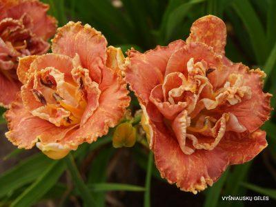 daylily 'Fringed Sangria' (2)