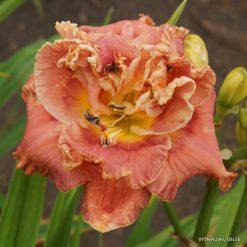 daylily 'Fringed Sangria' (4)