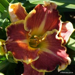 daylily 'Gary Colby'