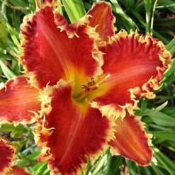 daylily 'Gasping for Breath'