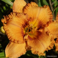 daylily 'Giggle Pie Delight' (4)