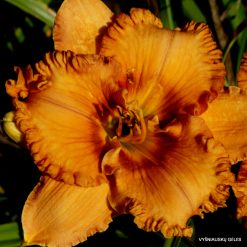 daylily 'Giggle Pie Delight'