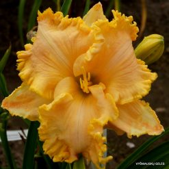 daylily 'Golden Tentacles'