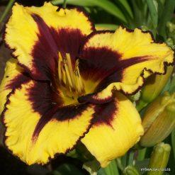 daylily 'Goldenzelle' (2)
