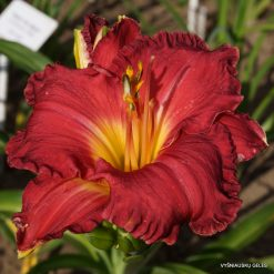 daylily 'Grand Canyon Sunset'