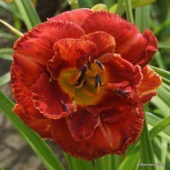 daylily 'Heat Seeker'