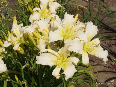 daylily 'Heavenly Angel Ice' (2)