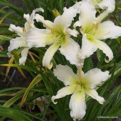 daylily 'Heavenly Angel Ice'