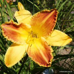 daylily 'Heavenly Beginnings'