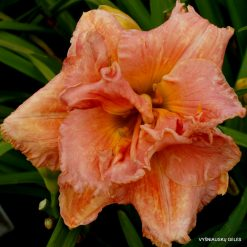 daylily 'Heavenly Double Your Pleasure'