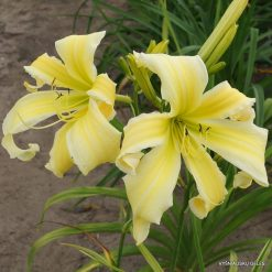 daylily 'Heavenly Flight of Angels'