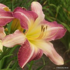 daylily 'Heavenly Mr. Fantastic'