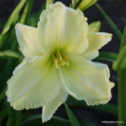 daylily 'Heavenly White Swan'