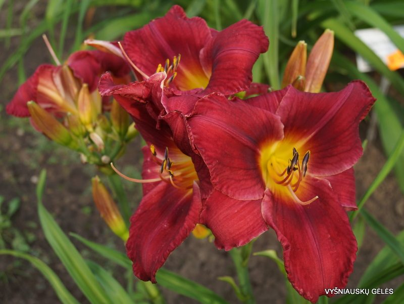 daylily 'I Can't Stop Loving You' (2)