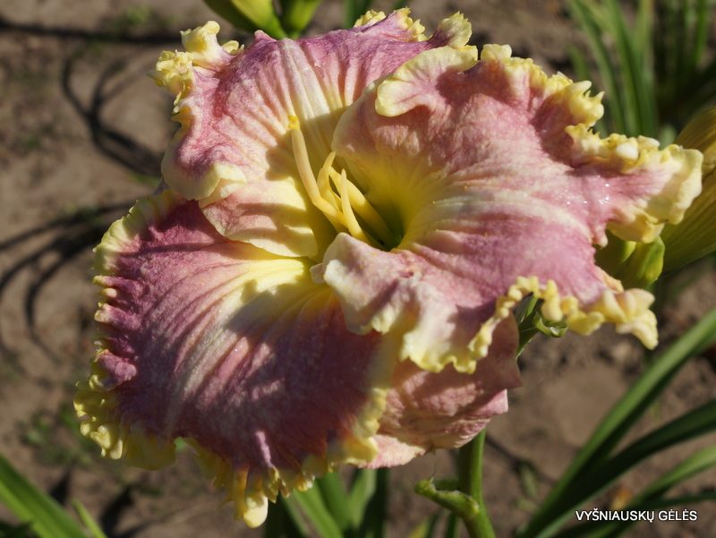 daylily 'Icicles' (2)