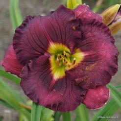 daylily 'Imperial Decree'