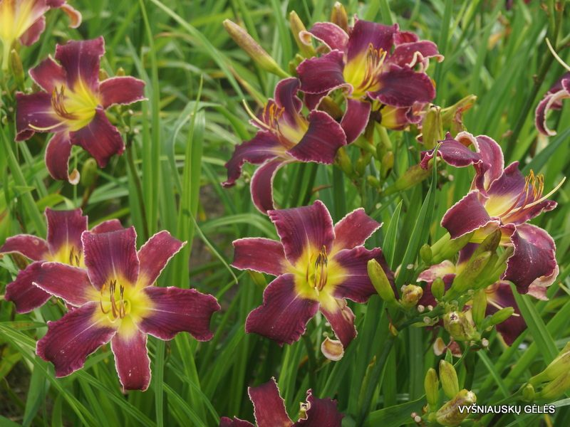 daylily 'Increased Complexity'