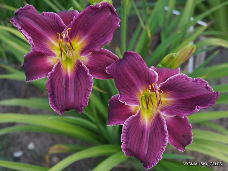 daylily 'Indian Giver' (2)