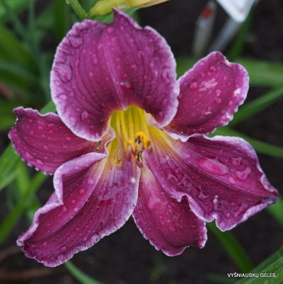 daylily 'Indian Giver'