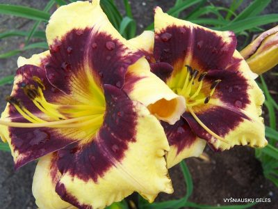 daylily 'Jamaican Me Crazy' (2)