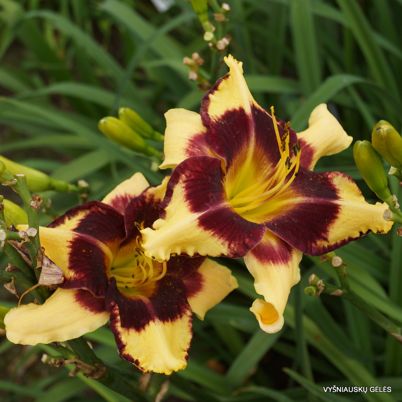 daylily 'Jamaican Me Crazy' (4)