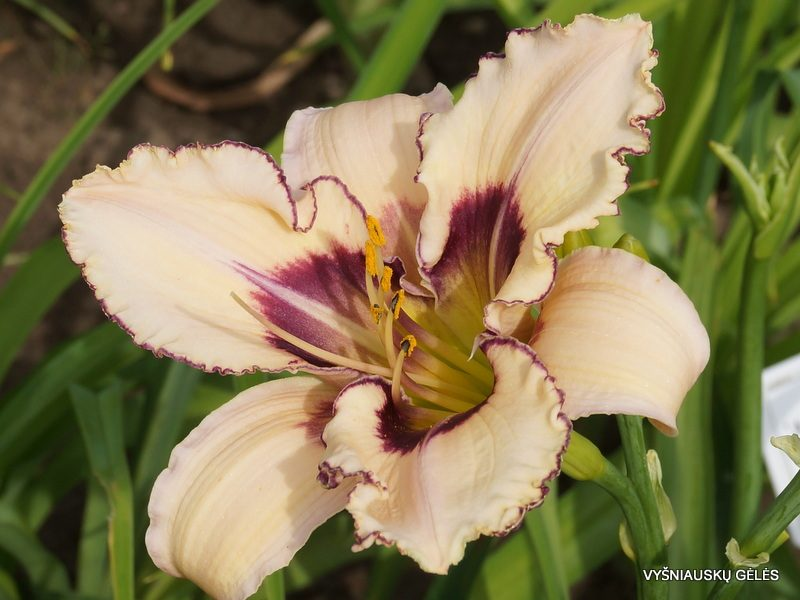 daylily 'Julie Newmar' (3)