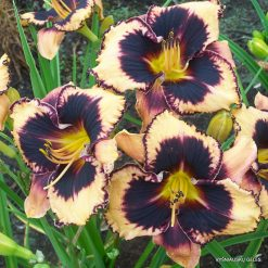 daylily 'Just Fabulous'