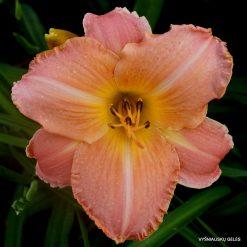 daylily-Lady-Rose