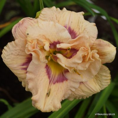 daylily 'Lavender Moonbeam' (2)