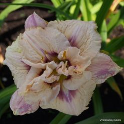 daylily 'Lavender Moonbeam' (3)