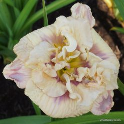 daylily 'Lavender Moonbeam' (4)