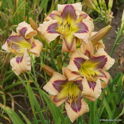 daylily 'Ledgewood's Calico Blues'