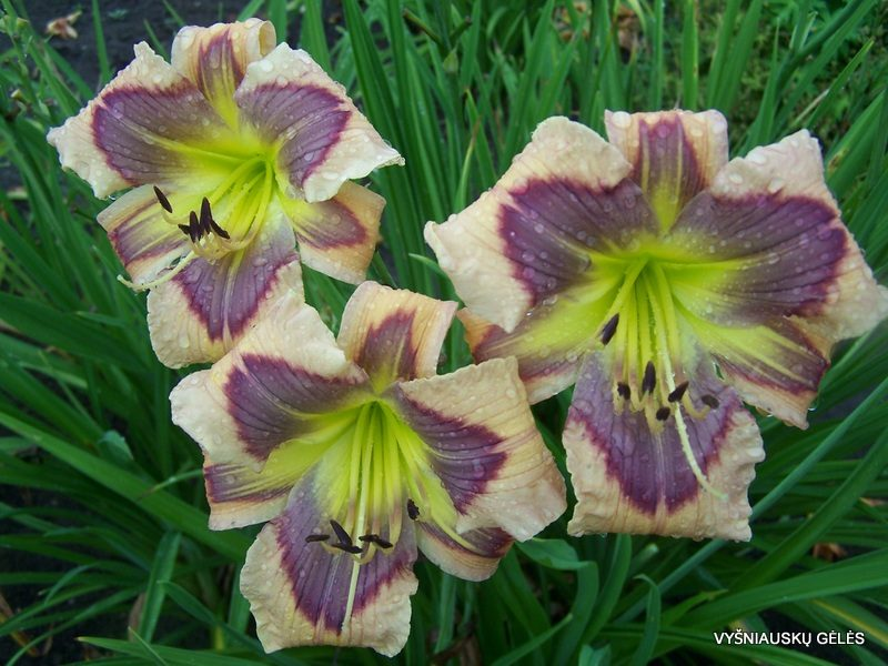 daylily 'Ledgewood's Calico Blues' (3)
