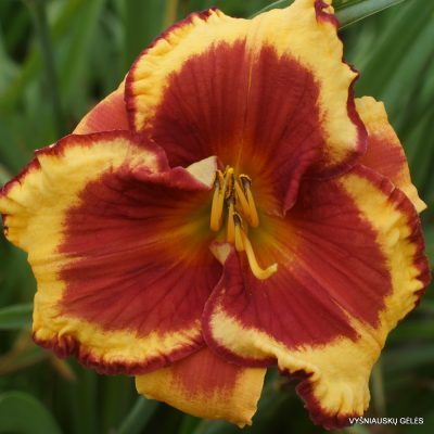 daylily 'Ledgewood's Firecracker'