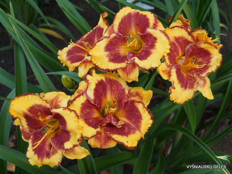 daylily 'Ledgewood's Firecracker' (3)